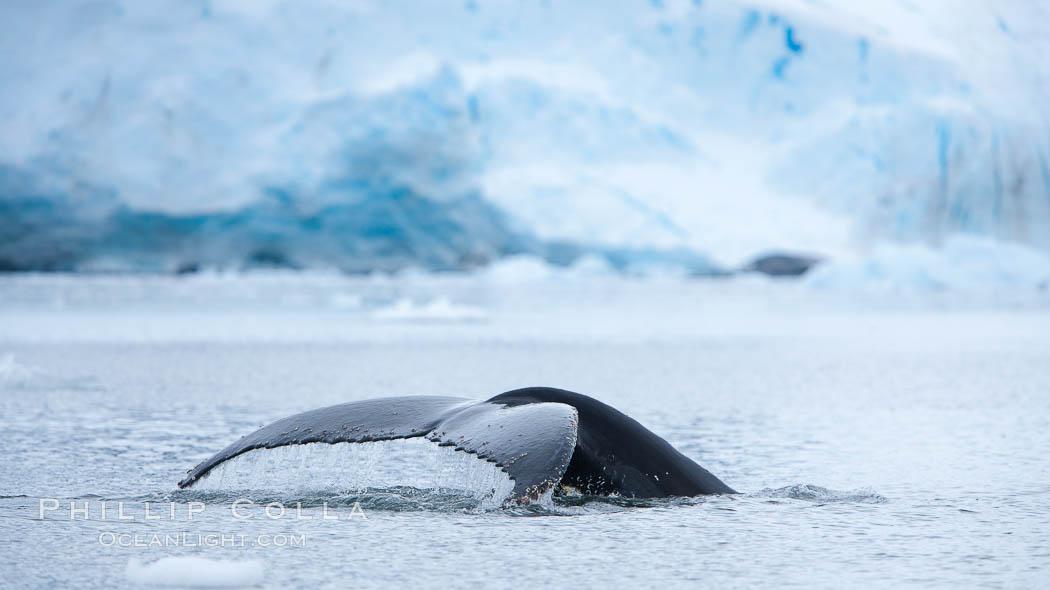 Antarctic humpback whale, raising its fluke (tail) before diving, Neko Harbor, Antarctica. Neko Harbor, Antarctic Peninsula, Antarctica, Megaptera novaeangliae, natural history stock photograph, photo id 25653
