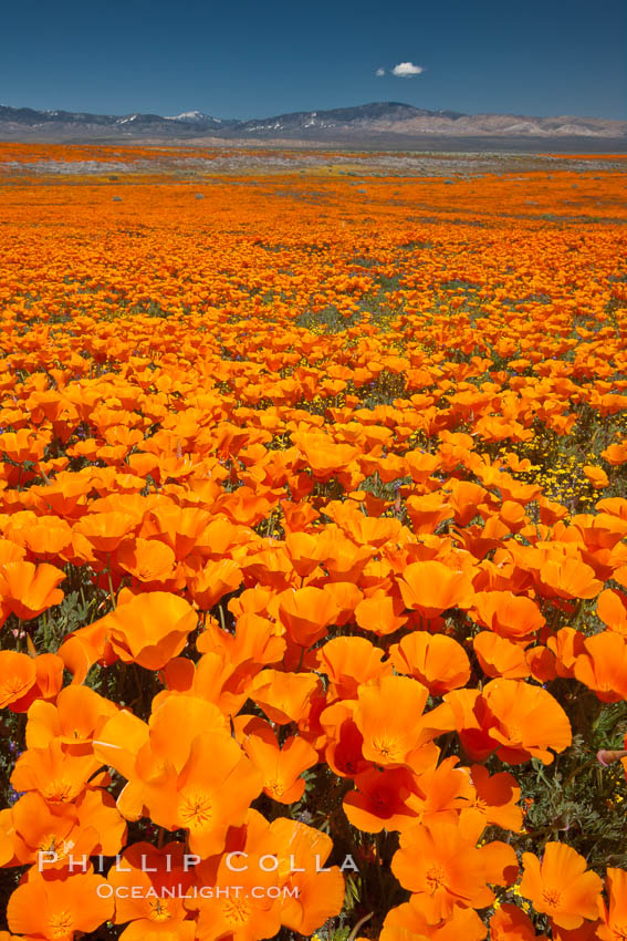 California poppies, wildflowers blooming in huge swaths of spring color in Antelope Valley. Lancaster, USA, Eschscholzia californica, Eschscholtzia californica, natural history stock photograph, photo id 25226