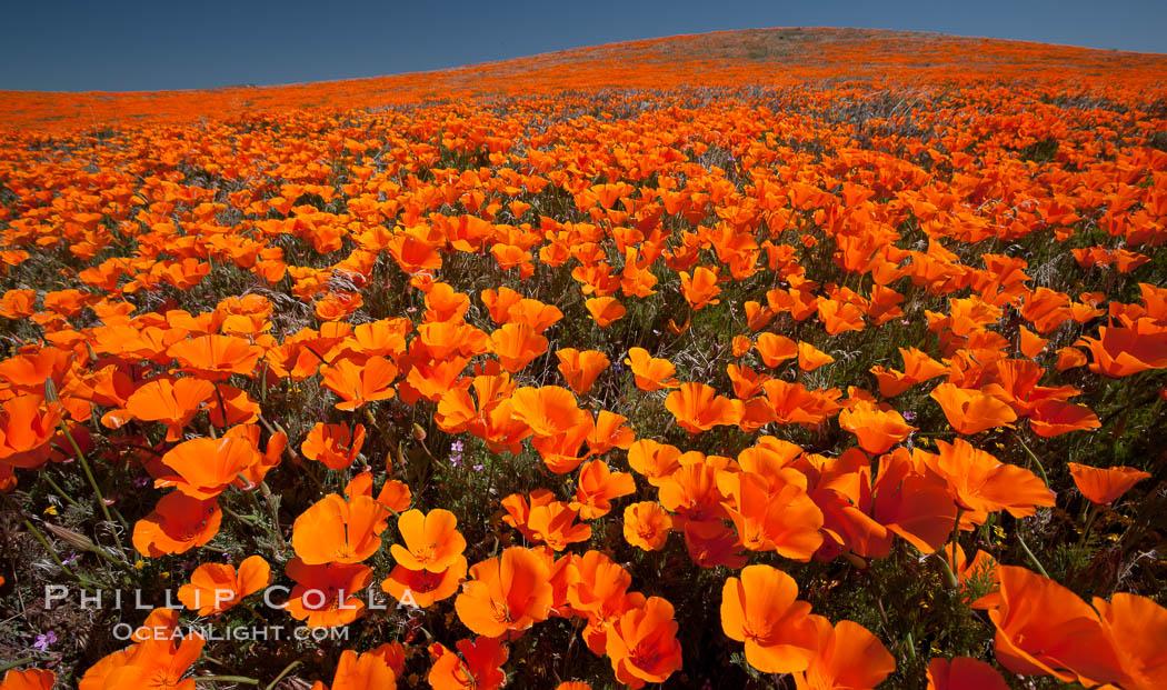 California poppies, hillside of brilliant orange color, Lancaster, CA. Antelope Valley California Poppy Reserve SNR, Lancaster, California, USA, Eschscholzia californica, Eschscholtzia californica, natural history stock photograph, photo id 25224