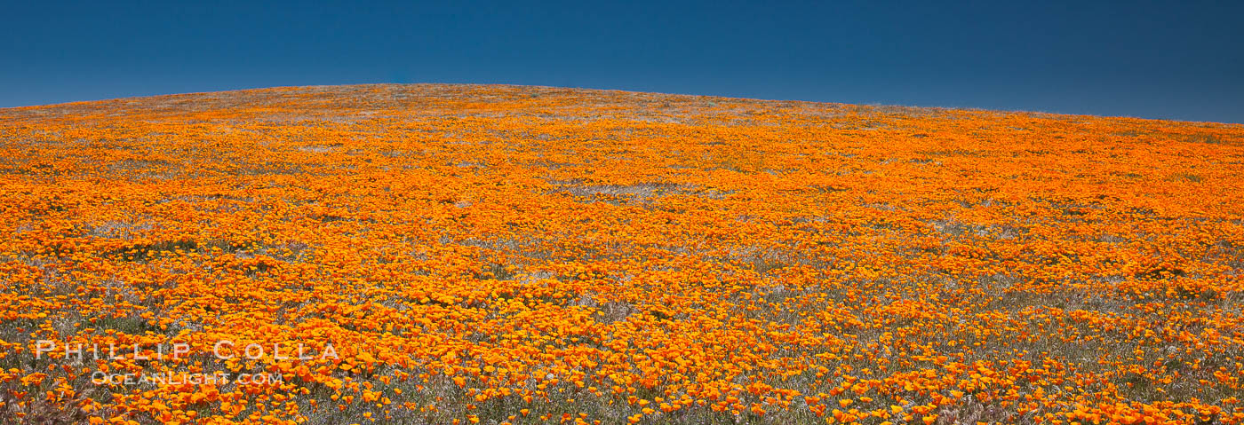 California poppies, hillside of brilliant orange color, Lancaster, CA. Antelope Valley California Poppy Reserve SNR, Lancaster, California, USA, Eschscholzia californica, Eschscholtzia californica, natural history stock photograph, photo id 25227