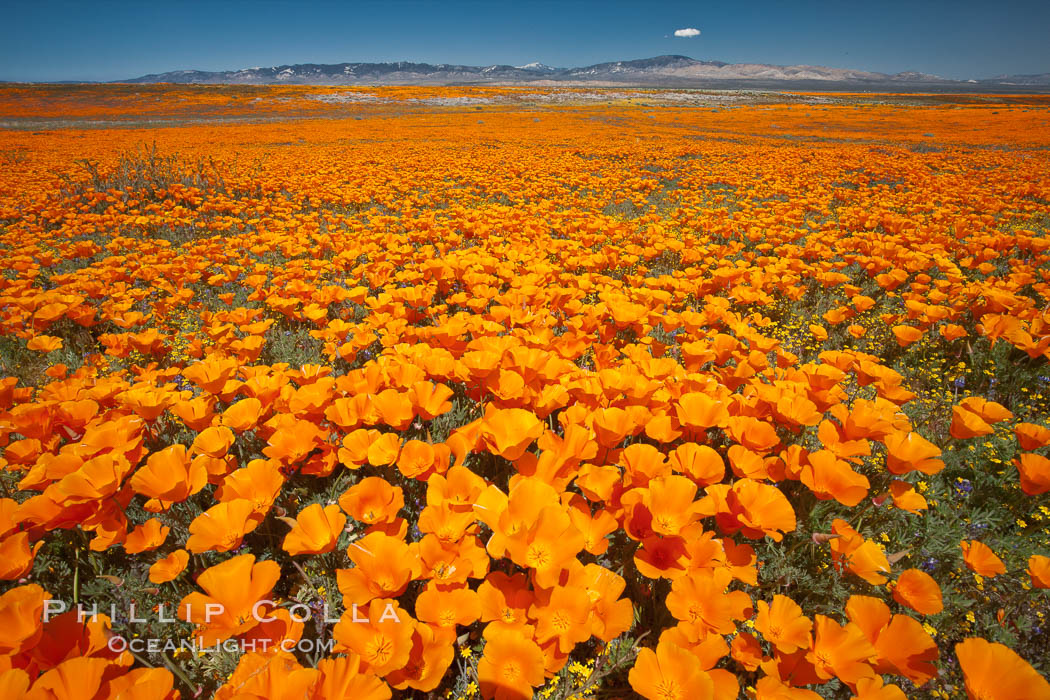 California poppies, wildflowers blooming in huge swaths of spring color in Antelope Valley. Lancaster, USA, Eschscholzia californica, Eschscholtzia californica, natural history stock photograph, photo id 25229