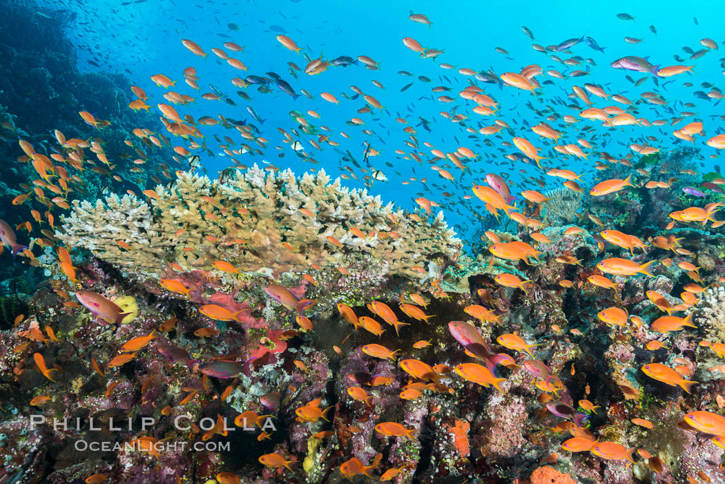 Anthias fairy basslet fish school over a Fijian coral reef, polarized and swimming together again a strong current. Fiji., Pseudanthias, natural history stock photograph, photo id 31426