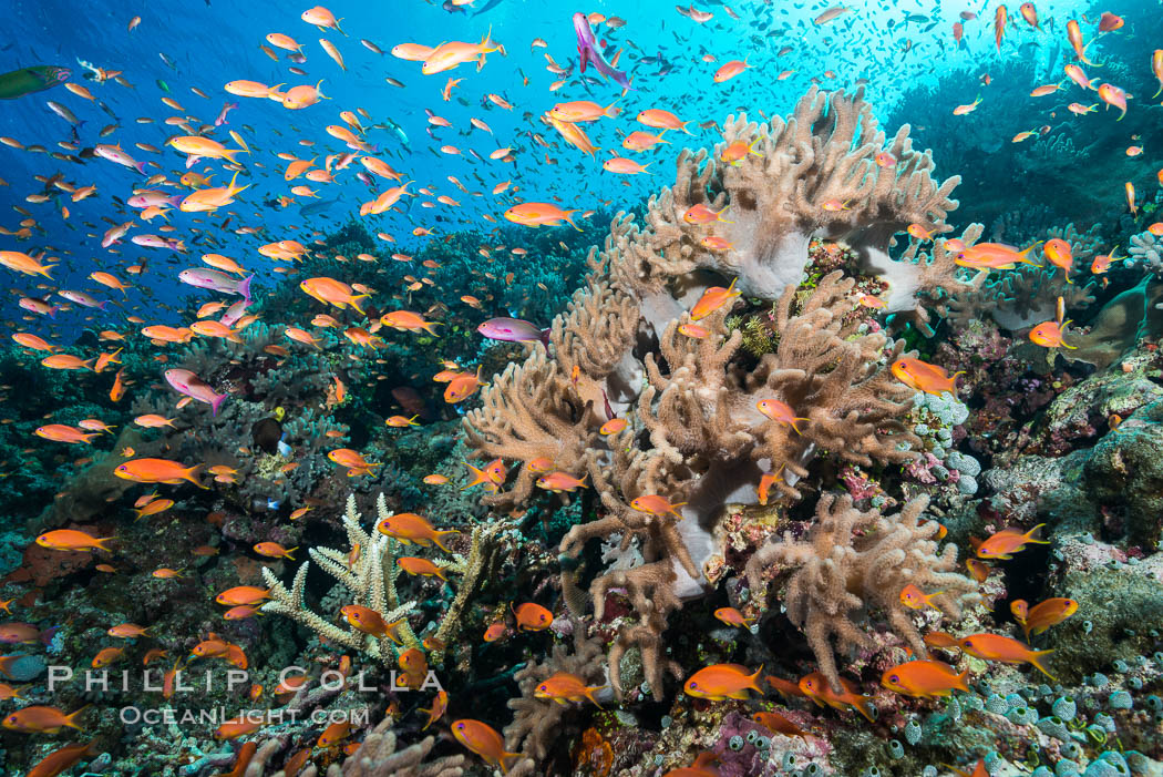Anthias fairy basslet fish school over a Fijian coral reef, polarized and swimming together again a strong current. Fiji. Fiji, Pseudanthias, natural history stock photograph, photo id 31427