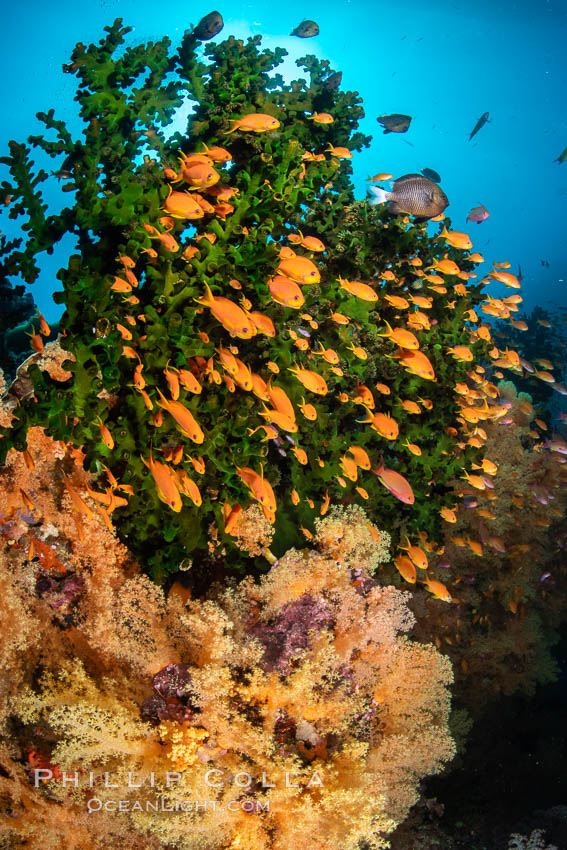 Anthias fish school around green fan coral, Fiji., Pseudanthias, natural history stock photograph, photo id 34740