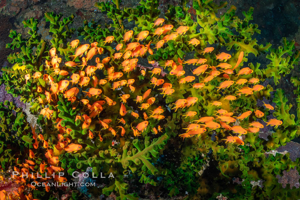 Anthias fish school around green fan coral, Fiji. Bligh Waters, Pseudanthias, natural history stock photograph, photo id 34793