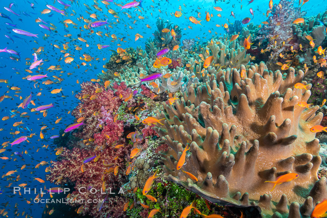 Brilliantly colored orange and pink anthias fishes, schooling in strong ocean currents next to the coral reef which is their home. Fiji. Bligh Waters, Pseudanthias, natural history stock photograph, photo id 34903