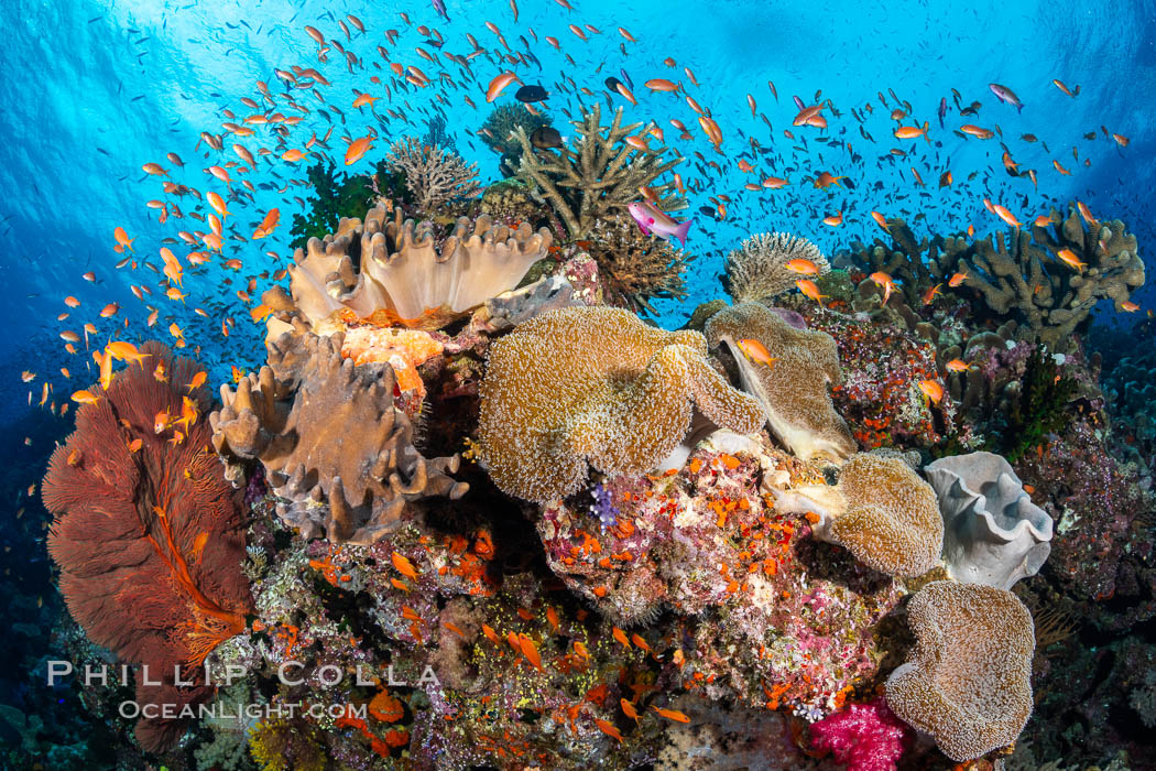 Anthias fishes school in strong currents above hard and soft corals on a Fijian coral reef, Fiji. Bligh Waters, Pseudanthias, natural history stock photograph, photo id 34719