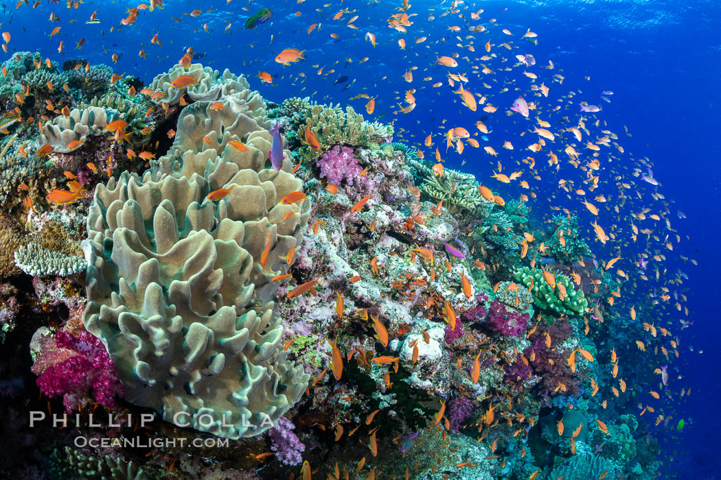 Anthias fishes school in strong currents above hard and soft corals on a Fijian coral reef, Fiji. Bligh Waters, Pseudanthias, natural history stock photograph, photo id 34721