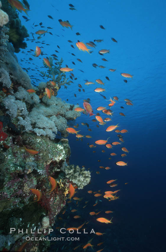 Anthias schooling over coral reef. Egyptian Red Sea, Anthias, Pseudanthias, natural history stock photograph, photo id 05251