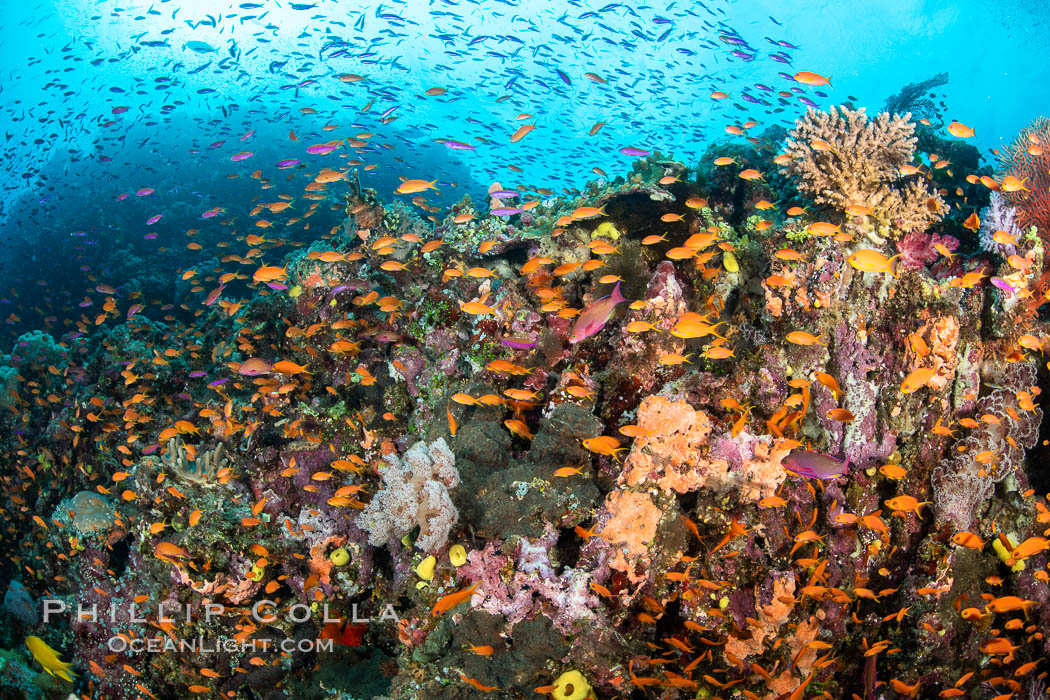 Anthias fishes school in strong currents over a Fijian coral reef, with various hard and soft corals, sea fans and anemones on display. Fiji., Pseudanthias, natural history stock photograph, photo id 34855