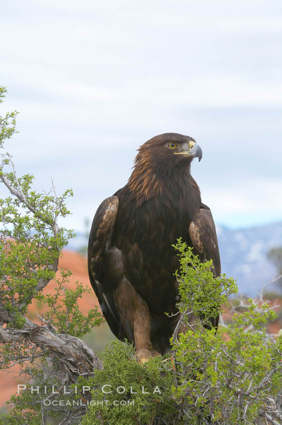 Golden eagle., Aquila chrysaetos, natural history stock photograph, photo id 12214