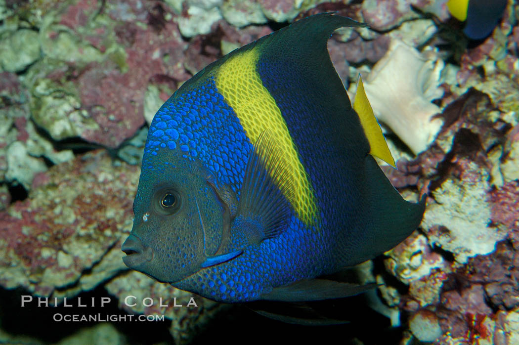 Arabian angelfish., Pomacanthus asfur, natural history stock photograph, photo id 08650