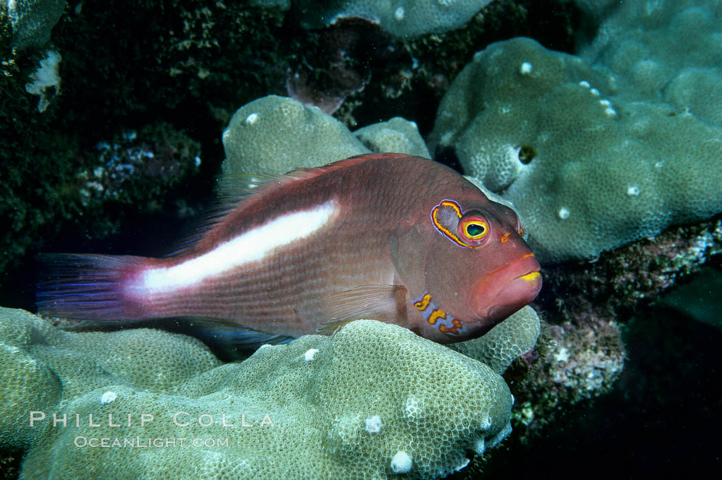 Image 05195, Arc eye hawkfish. Maui, Hawaii, USA, Paracirrhites arcatus, Phillip Colla, all rights reserved worldwide. Keywords: animal, arc eye hawkfish, arc-eye hawkfish, creature, fish, hawaii, hawaiian islands, hawaiian islands humpback whale national marine sanctuary, hawkfish, indo-pacific, marine, marine fish, maui, national marine sanctuaries, nature, ocean, oceans, pacific, paracirrhites arcatus, sea, teleost fish, underwater, usa, wildlife.