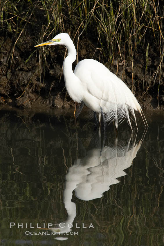 Great egret (white egret). Upper Newport Bay Ecological Reserve, Newport Beach, California, USA, Ardea alba, natural history stock photograph, photo id 15659