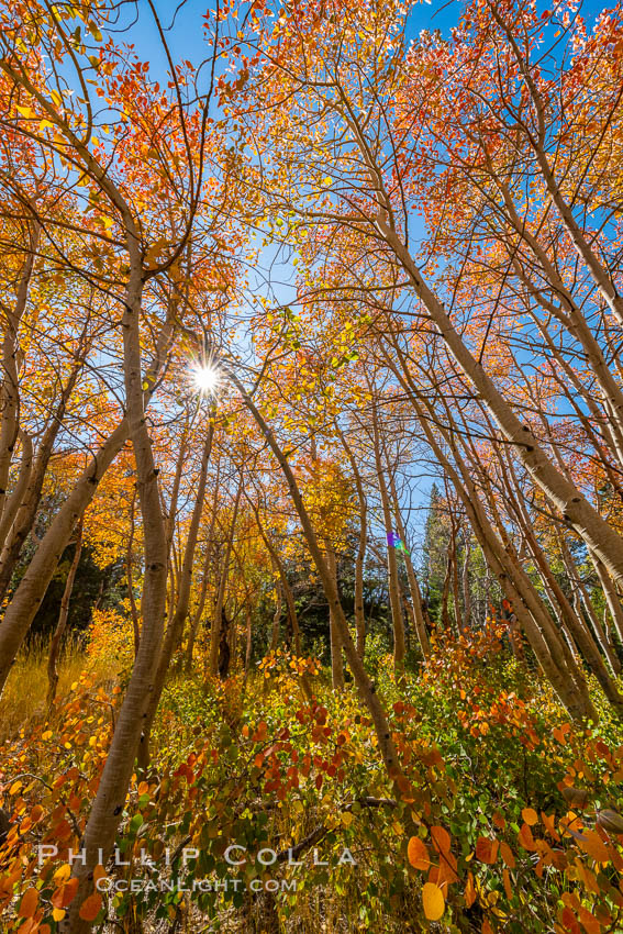 Aspen grove, Dunderberg Meadows, eastern Sierra Nevada. Sierra Nevada Mountains, California, USA, natural history stock photograph, photo id 35834