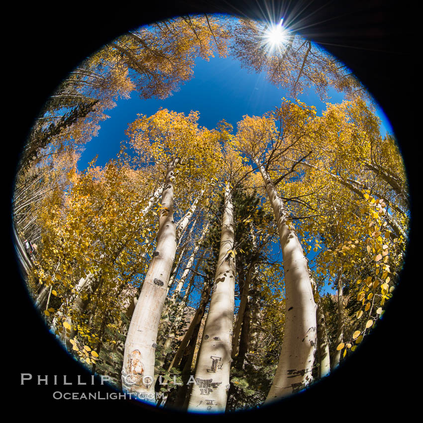 Turning aspen trees in Autumn, South Fork of Bishop Creek Canyon. Bishop Creek Canyon, Sierra Nevada Mountains, California, USA, natural history stock photograph, photo id 34164