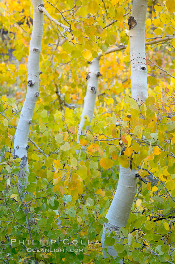 Aspen trees display Eastern Sierra fall colors, Lake Sabrina, Bishop Creek Canyon. Bishop Creek Canyon, Sierra Nevada Mountains, California, USA, Populus tremuloides, natural history stock photograph, photo id 17498