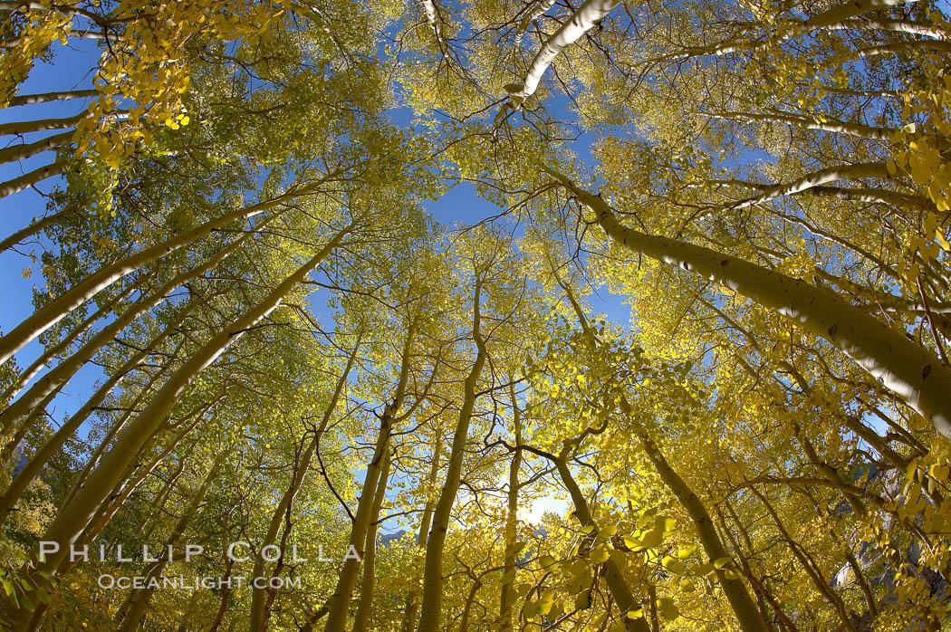Aspen trees display Eastern Sierra fall colors, Lake Sabrina, Bishop Creek Canyon. Bishop Creek Canyon, Sierra Nevada Mountains, Bishop, California, USA, Populus tremuloides, natural history stock photograph, photo id 17547