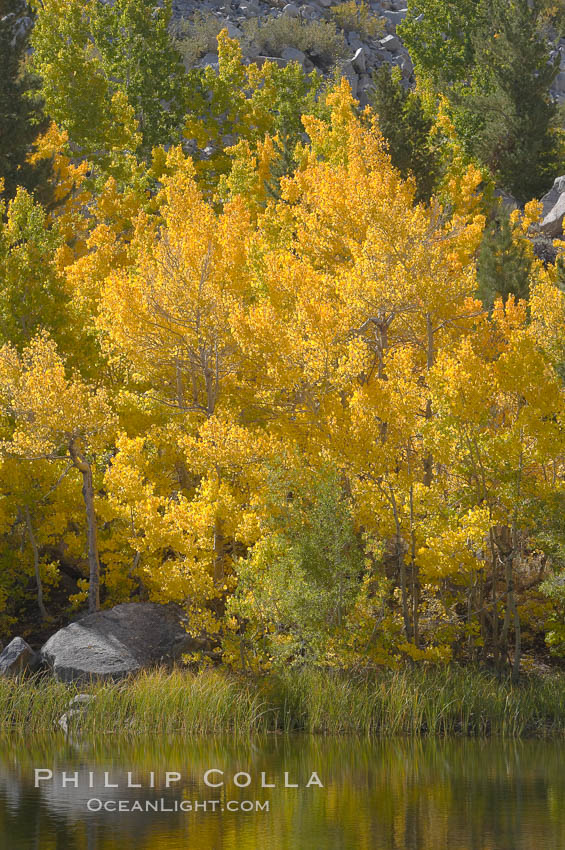 Aspen trees reflected in Cardinal Pond, Aspendel, Bishop Creek Canyon. Bishop Creek Canyon, Sierra Nevada Mountains, Bishop, California, USA, Populus tremuloides, natural history stock photograph, photo id 17504