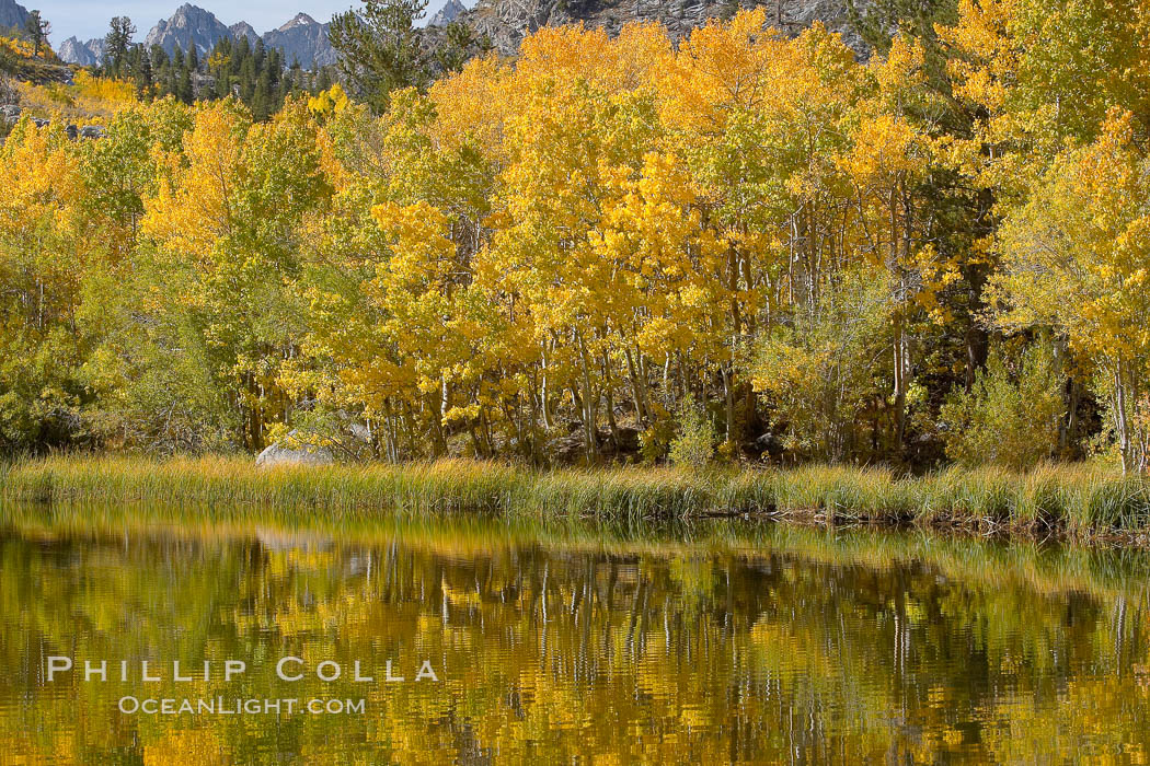 Aspen trees reflected in Cardinal Pond, Aspendel, Bishop Creek Canyon. Bishop Creek Canyon, Sierra Nevada Mountains, California, USA, Populus tremuloides, natural history stock photograph, photo id 17529