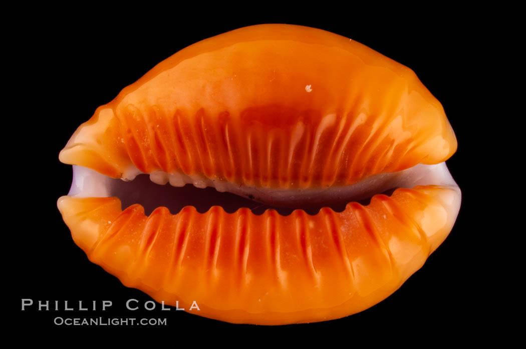 Astral Honey Cowrie, Cypraea helvola callista, natural history stock photograph, photo id 08063