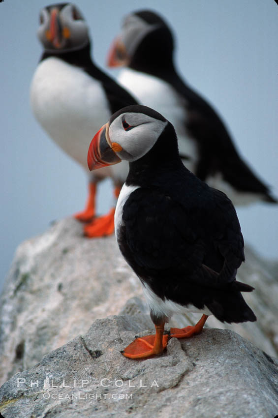 Image 03144, Atlantic puffin, mating coloration. Machias Seal Island, Maine, USA, Fratercula arctica, Phillip Colla, all rights reserved worldwide. Keywords: alcidae, animal, animalia, arctica, atlantic puffin, aves, bird, charadriiformes, chordata, common puffin, fratercula, fratercula arctica, machias seal island, maine, puffin, usa, vertebrata, vertebrate.