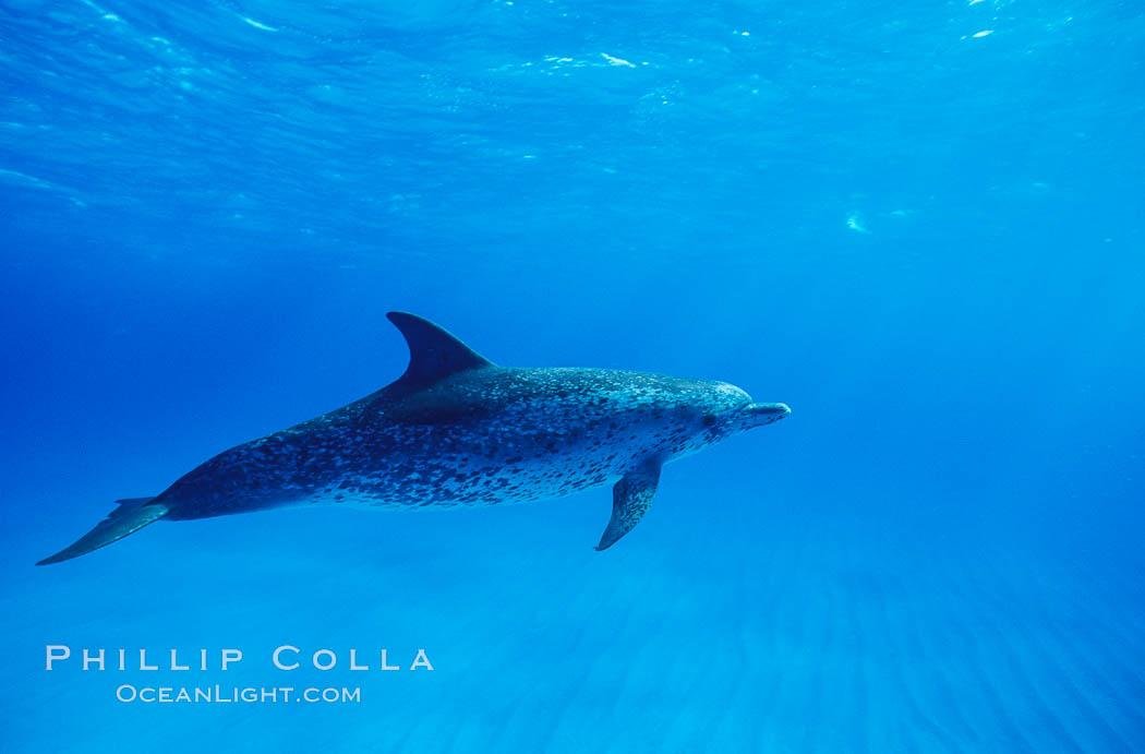 Atlantic spotted dolphin. Bahamas, Stenella frontalis, natural history stock photograph, photo id 04886