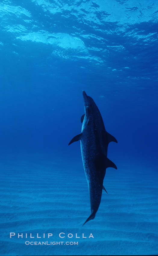 Atlantic spotted dolphin. Bahamas, Stenella frontalis, natural history stock photograph, photo id 04890