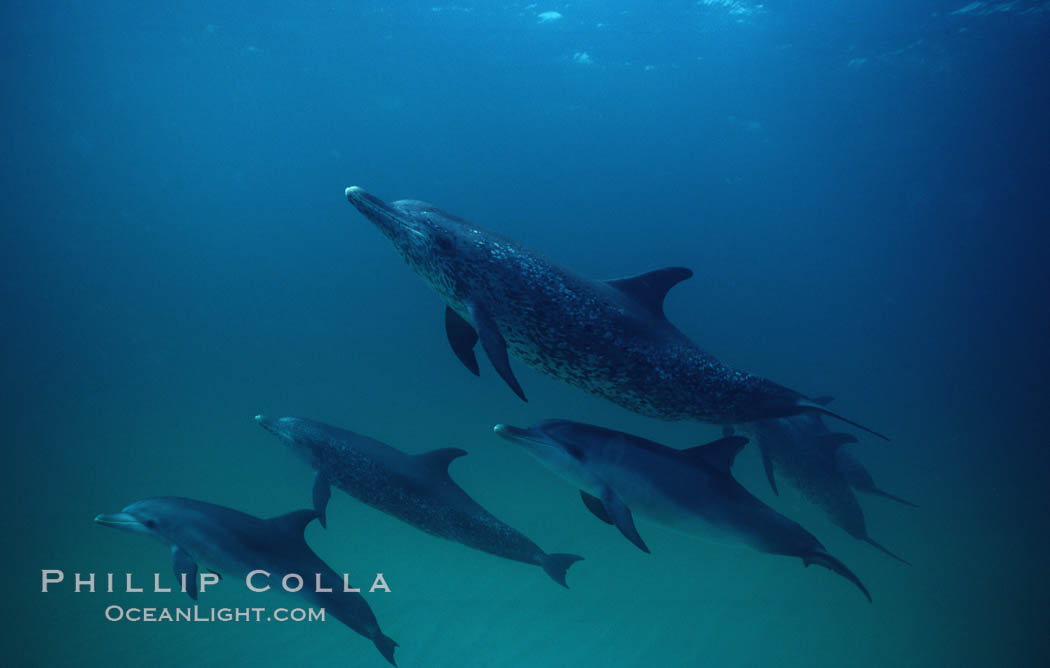 Atlantic spotted dolphin. Bahamas, Stenella frontalis, natural history stock photograph, photo id 01963