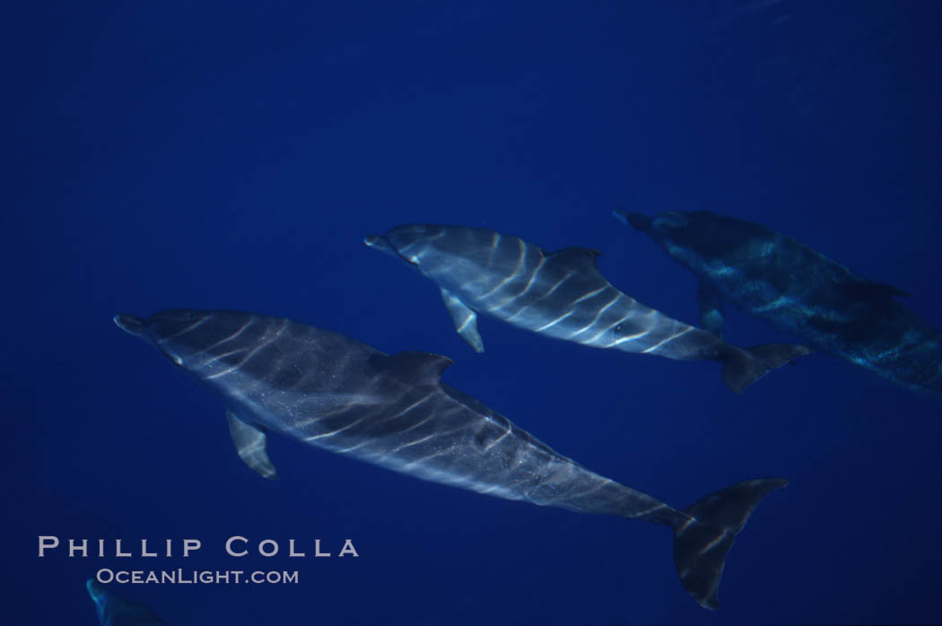 Atlantic spotted dolphin. Sao Miguel Island, Azores, Portugal, Stenella frontalis, natural history stock photograph, photo id 04973