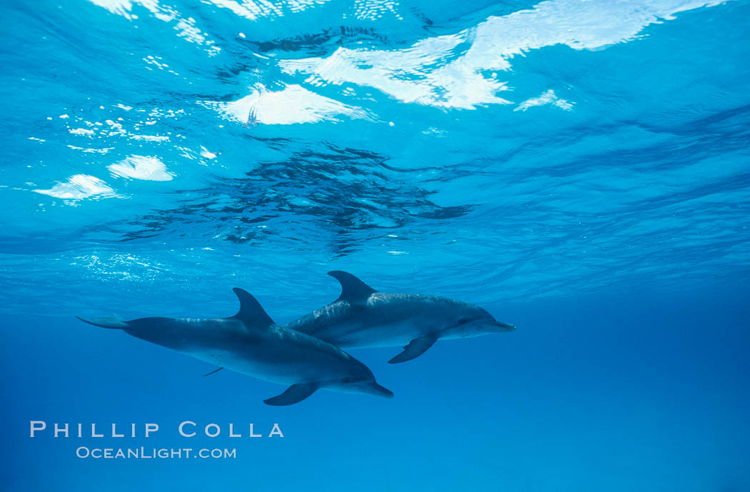 Atlantic spotted dolphin. Bahamas, Stenella frontalis, natural history stock photograph, photo id 19902