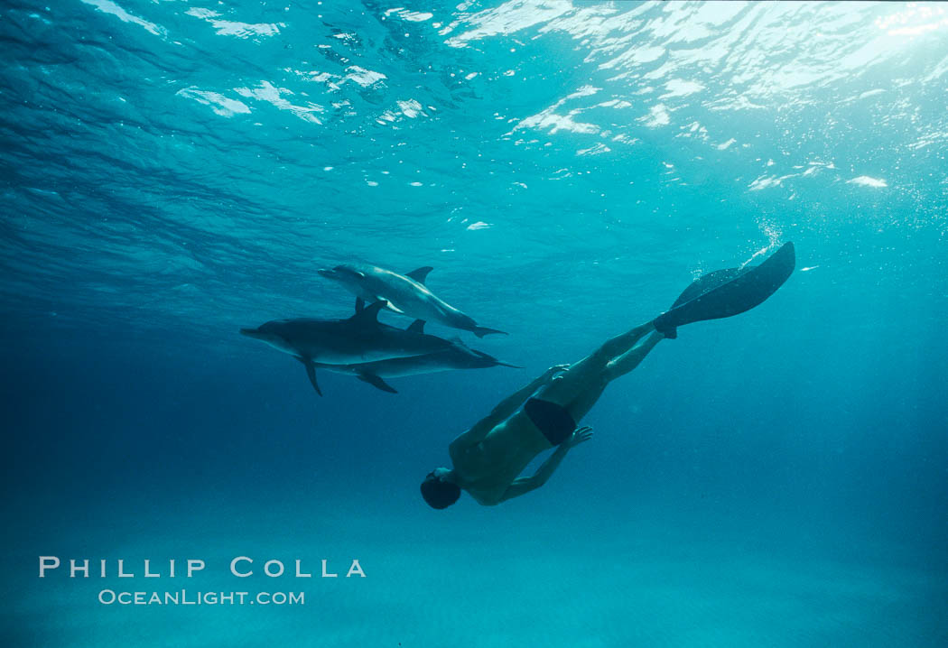 Olympian champion swimmer Matt Biondi swims with wild atlantic spotted dolphins. Bahamas, Stenella frontalis, natural history stock photograph, photo id 19899