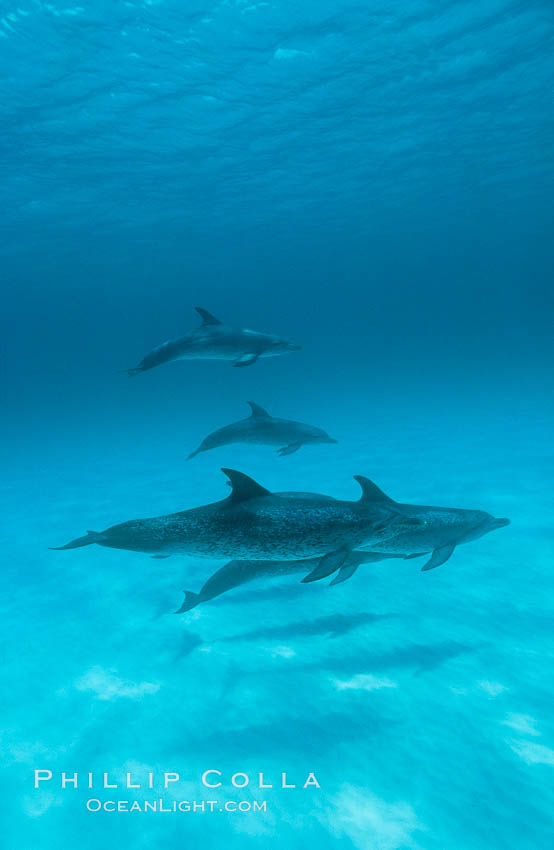 Atlantic spotted dolphin. Bahamas, Stenella frontalis, natural history stock photograph, photo id 19901