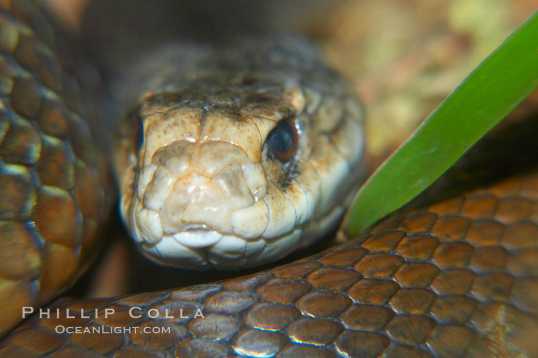 The Australian taipan snake is considered one of the most venomous snakes in the world., Oxyuranus scutellatus, natural history stock photograph, photo id 12627