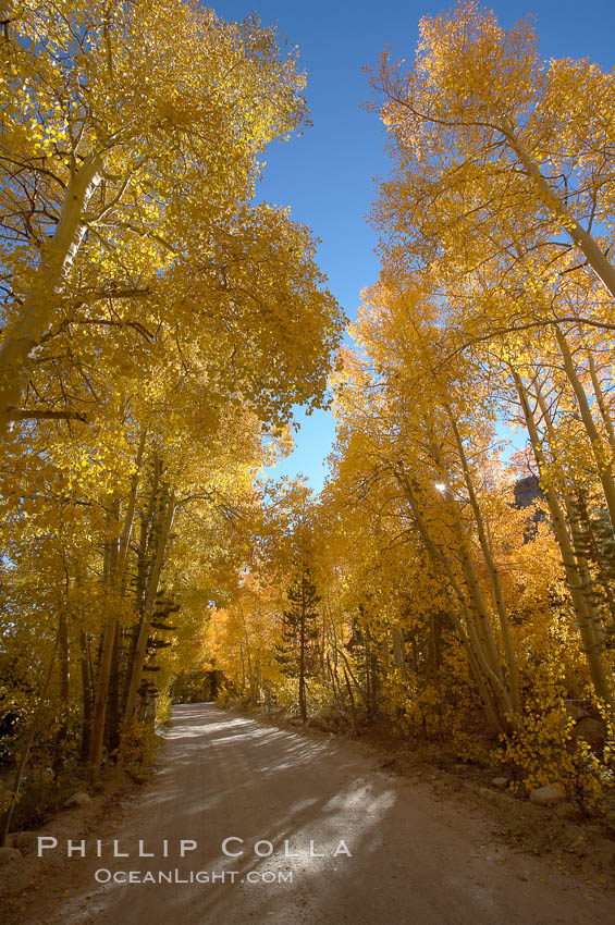 Aspen trees displaying fall colors rise alongside a High Sierra road near North Lake, Bishop Creek Canyon. Bishop Creek Canyon, Sierra Nevada Mountains, California, USA, Populus tremuloides, natural history stock photograph, photo id 17594