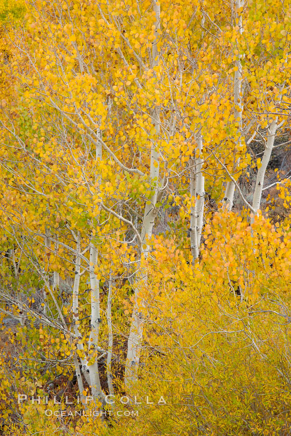 Fall colors and turning aspens, eastern Sierra Nevada. Bishop Creek Canyon Sierra Nevada Mountains, Bishop, California, USA, Populus tremuloides, natural history stock photograph, photo id 26066