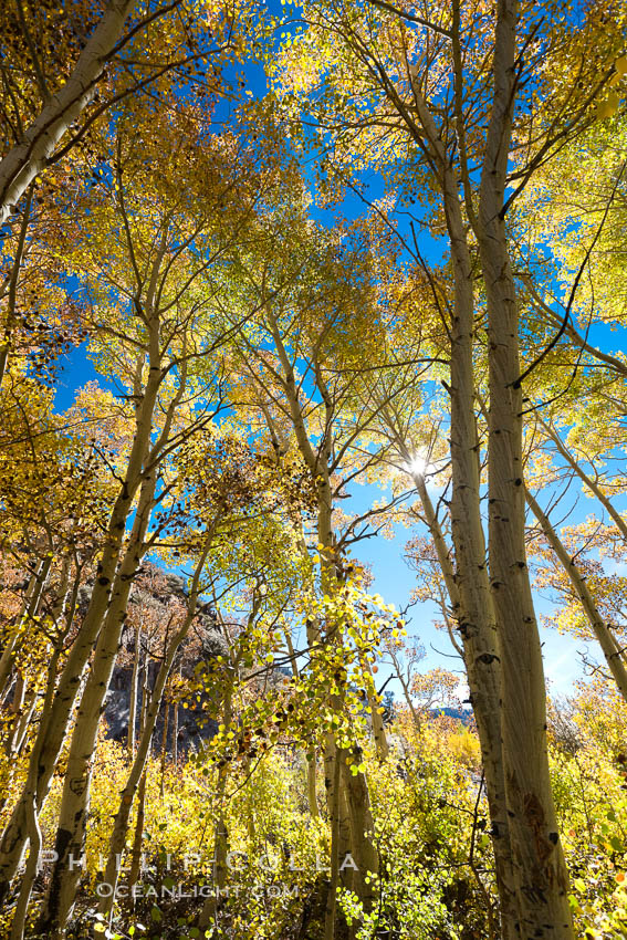 Image 26087, Aspen trees, with leaves changing from green to yellow in autumn, branches stretching skyward, a forest. Bishop Creek Canyon Sierra Nevada Mountains, Bishop, California, USA, Populus tremuloides, Phillip Colla, all rights reserved worldwide. Keywords: aspen, aspen tree, aspens, autumn, bishop, bishop creek, bishop creek canyon, bishop creek canyon sierra nevada mountains, california, eastern sierra, eastern sierra fall colors, environment, fall, fall color, fall colors, foliage, forest, grove, high sierra, lake, landscape, mountain, nature, outdoors, outside, plant, populus tremuloides, quaking aspen, scene, scenery, scenic, sierra, sierra nevada, terrestrial plant, tree, trees, usa.