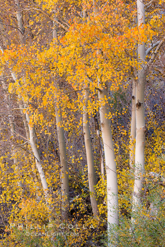 Fall colors and turning aspens, eastern Sierra Nevada. Bishop Creek Canyon Sierra Nevada Mountains, California, USA, Populus tremuloides, natural history stock photograph, photo id 26065