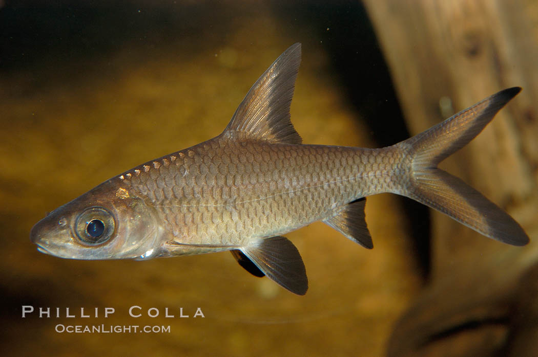 Bala shark, a freshwater fish native to the rivers of Thailand, Borneo and Sumatra, grows to about 14 inches long., Balantiocheilus melanopterus, natural history stock photograph, photo id 09322