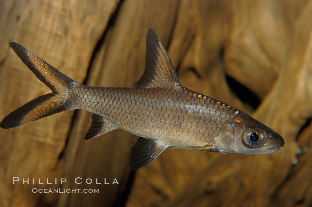 Bala shark, a freshwater fish native to the rivers of Thailand, Borneo and Sumatra, grows to about 14 inches long., Balantiocheilus melanopterus, natural history stock photograph, photo id 09324