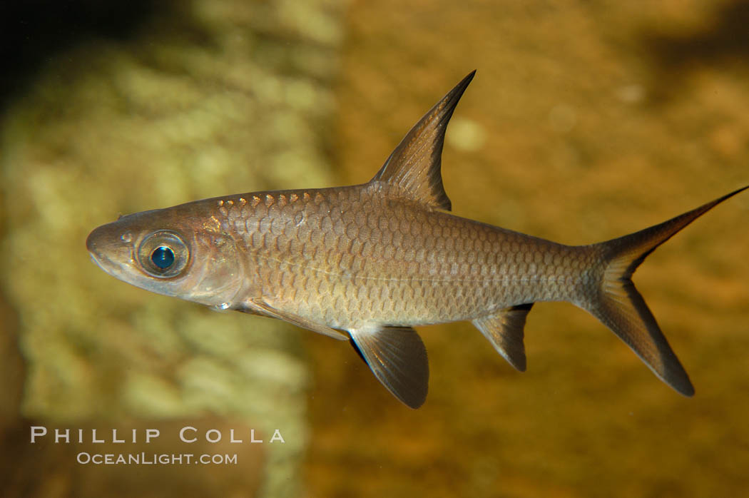 Bala shark, a freshwater fish native to the rivers of Thailand, Borneo and Sumatra, grows to about 14 inches long., Balantiocheilus melanopterus, natural history stock photograph, photo id 09321