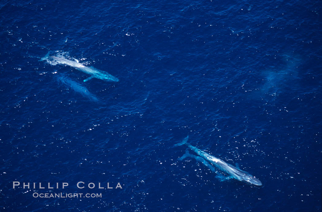 Blue whales: adult pair (upper left), mother/calf pair (lower right),  Baja California (Mexico)., Balaenoptera musculus, natural history stock photograph, photo id 03351