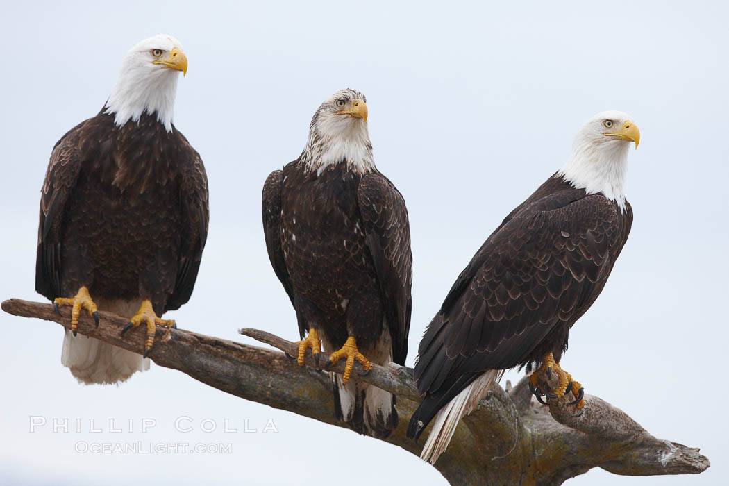 Three bald eagles stand together on wooden perch. Kachemak Bay, Homer, Alaska, USA, Haliaeetus leucocephalus, Haliaeetus leucocephalus washingtoniensis, natural history stock photograph, photo id 22649