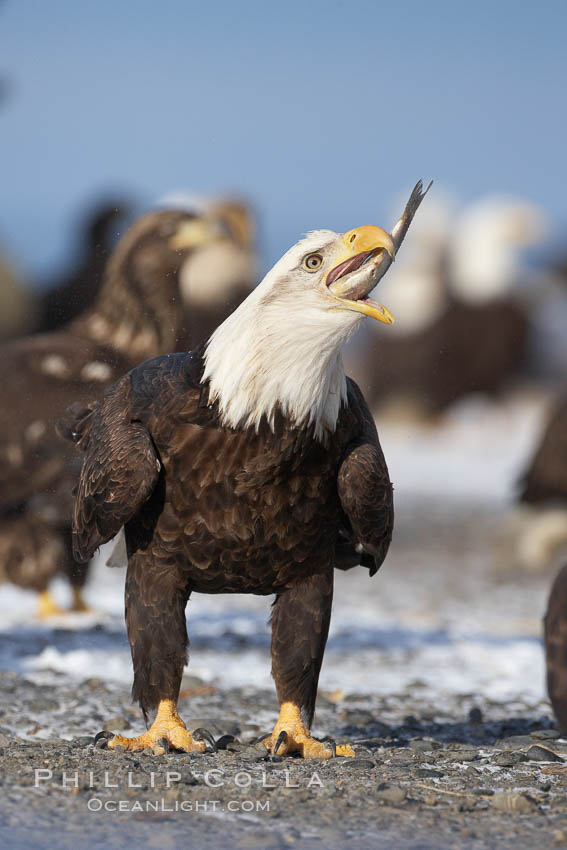 Bald eagle eating a fish, standing on snow-covered ground, other bald eagles visible in background. Kachemak Bay, Homer, Alaska, USA, Haliaeetus leucocephalus, Haliaeetus leucocephalus washingtoniensis, natural history stock photograph, photo id 22605