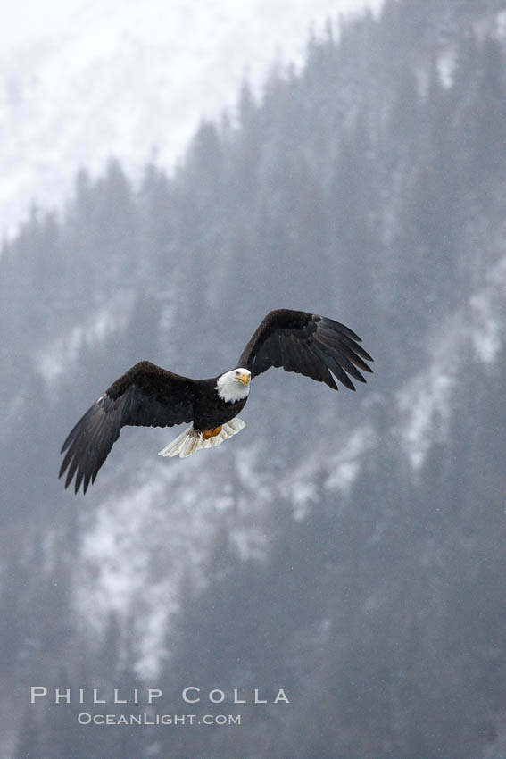 Bald eagle in flight, snow falling, trees and Kenai Mountains in background. Kenai Peninsula, Alaska, USA, Haliaeetus leucocephalus, Haliaeetus leucocephalus washingtoniensis, natural history stock photograph, photo id 22598