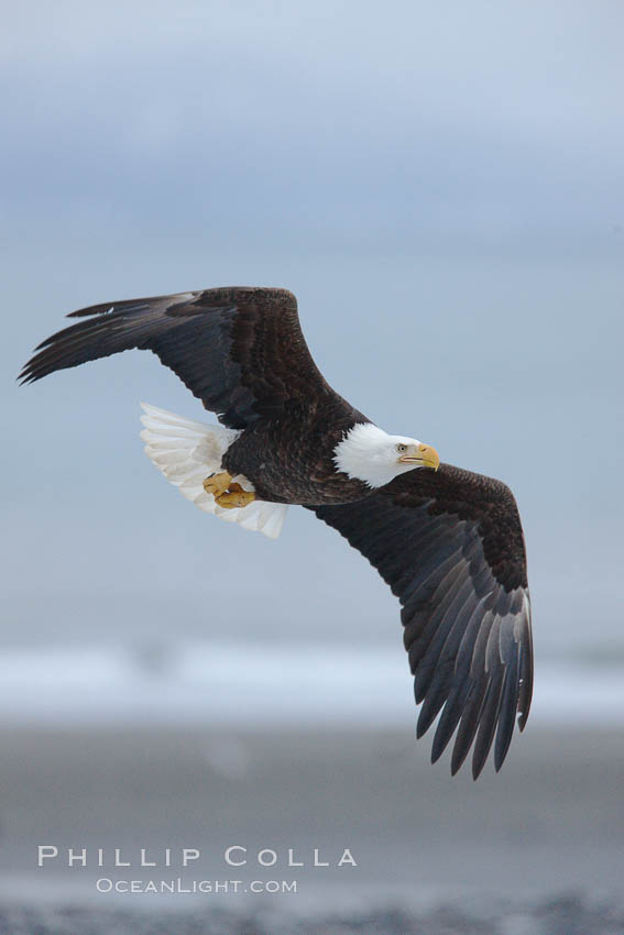 Bald eagle in flight, banking, wings spread, above  beach and Kachemak Bay in background. Homer, Alaska, USA, Haliaeetus leucocephalus, Haliaeetus leucocephalus washingtoniensis, natural history stock photograph, photo id 22650