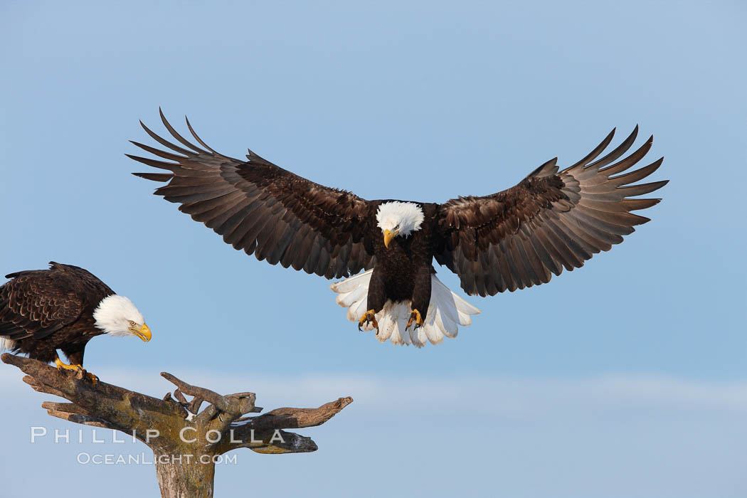 Bald eagle in flight, spreads its wings wide to slow before landing on a wooden perch. Kachemak Bay, Homer, Alaska, USA, Haliaeetus leucocephalus, Haliaeetus leucocephalus washingtoniensis, natural history stock photograph, photo id 22676