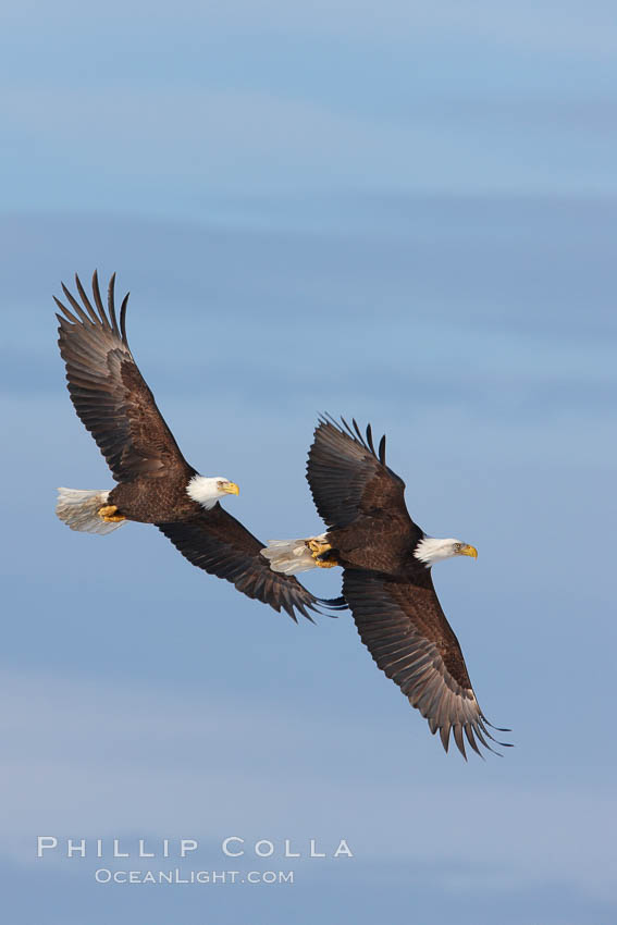 Image 22602, Two bald eagles in flight, wings spread, soaring, aloft. Kachemak Bay, Homer, Alaska, USA, Haliaeetus leucocephalus, Haliaeetus leucocephalus washingtoniensis, Phillip Colla, all rights reserved worldwide. Keywords: accipitridae, alaska, animal, animalia, aves, bald eagle, bird, chordata, creature, eagle, falconiformes, flight, fly, flying, haliaeetus, haliaeetus leucocephalus, haliaeetus leucocephalus washingtoniensis, haliaeetus leucocephalus washintoniensis, homer, kachemak bay, leucocephalus, nature, northern bald eagle, usa, vertebrata, vertebrate, wildlife, wings.