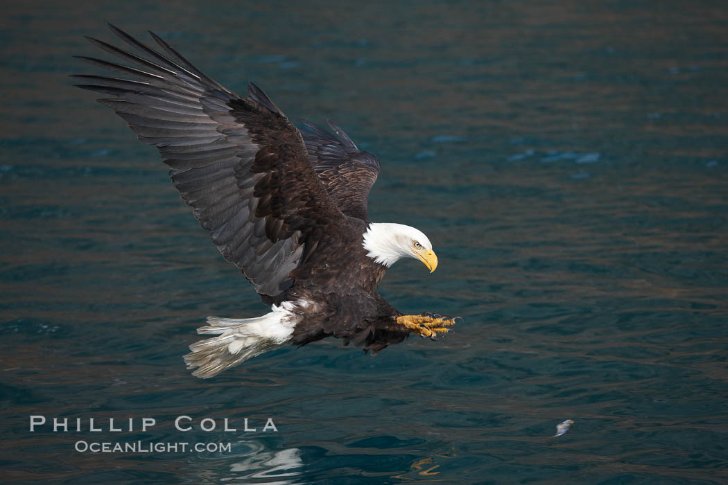Bald eagle in flight spreads its wings and raises its talons as it prepares to grasp a fish out of the water. Kenai Peninsula, Alaska, USA, Haliaeetus leucocephalus, Haliaeetus leucocephalus washingtoniensis, natural history stock photograph, photo id 22675