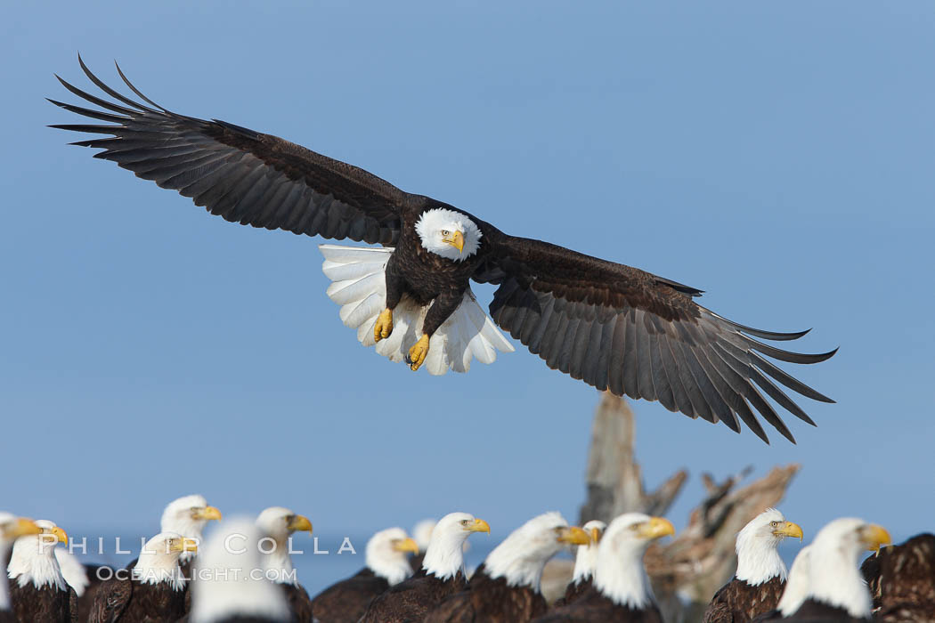 Bald eagle spreads its wings to land amid a large group of bald eagles. Kachemak Bay, Homer, Alaska, USA, Haliaeetus leucocephalus, Haliaeetus leucocephalus washingtoniensis, natural history stock photograph, photo id 22669
